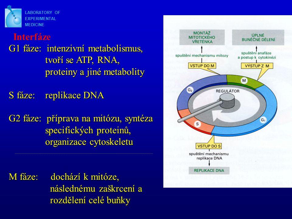 G1 fáze: intenzivní metabolismus, tvoří se ATP, RNA,