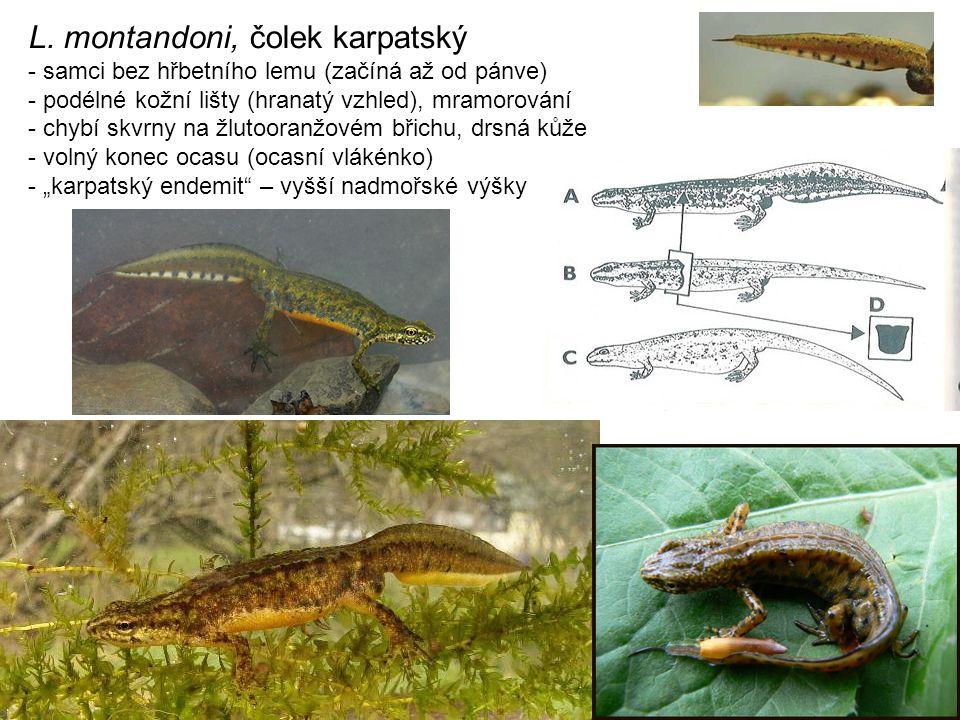 L. montandoni, čolek karpatský