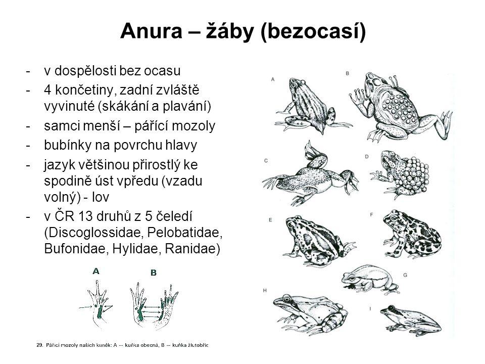 Anura – žáby (bezocasí)