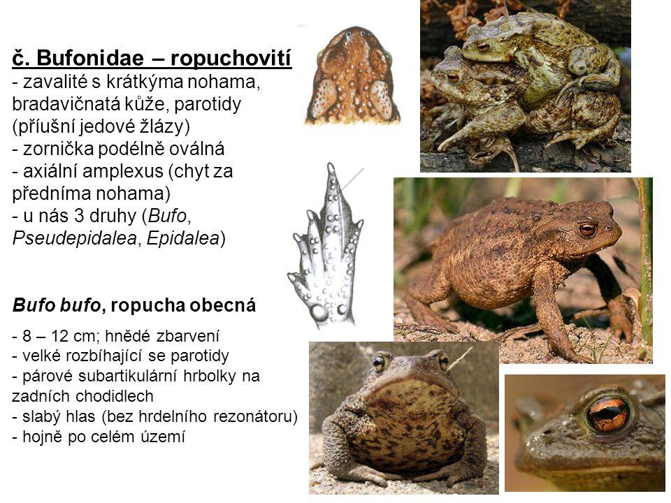 č. Bufonidae – ropuchovití