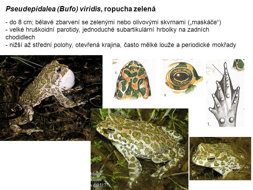 Pseudepidalea (Bufo) viridis, ropucha zelená