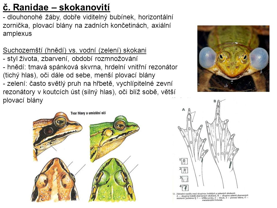 č. Ranidae – skokanovití