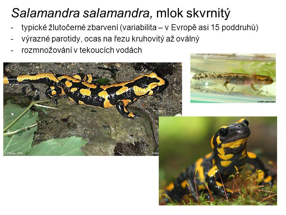 Salamandra salamandra, mlok skvrnitý