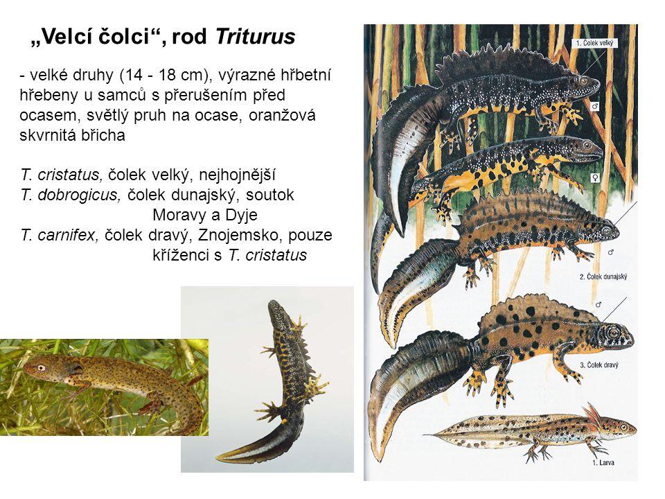 """""""Velcí čolci , rod Triturus"""