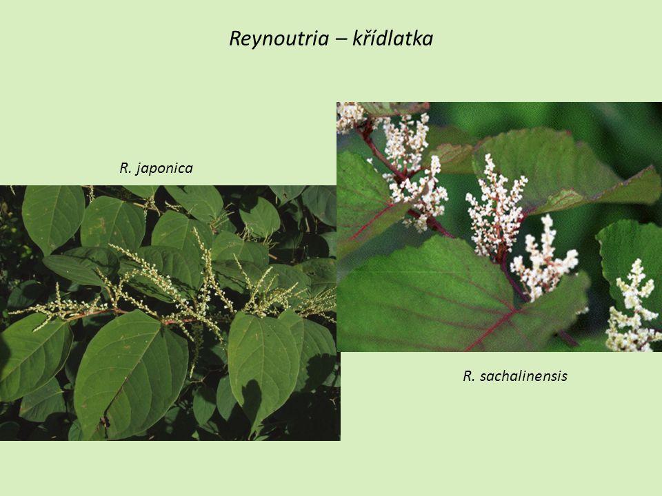 Reynoutria – křídlatka