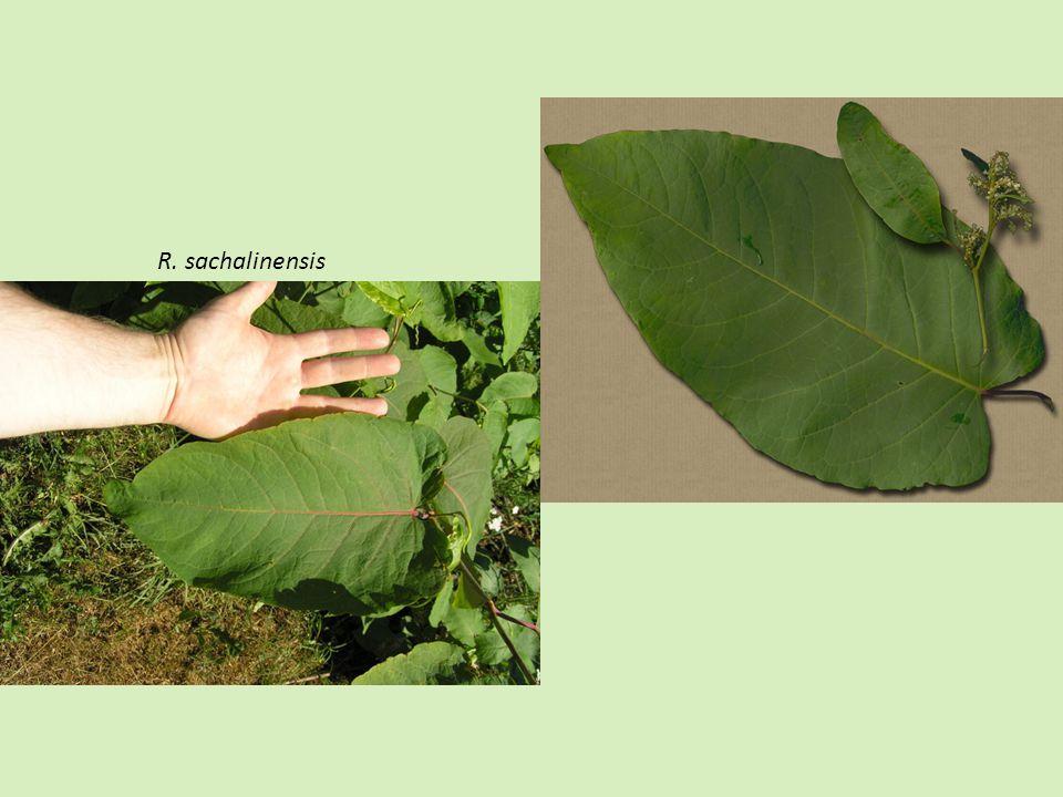 R. sachalinensis