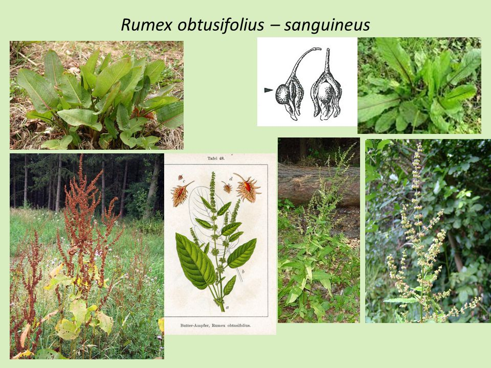 Rumex obtusifolius – sanguineus