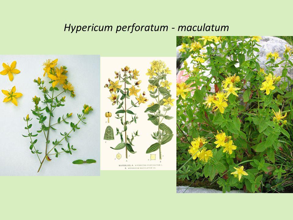 Hypericum perforatum - maculatum