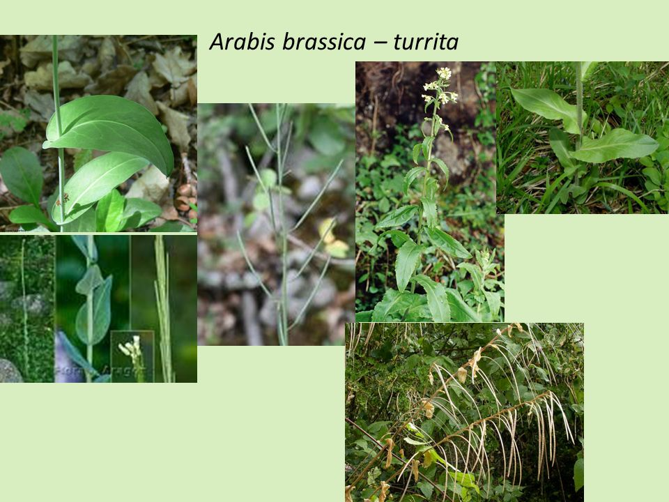 Arabis brassica – turrita
