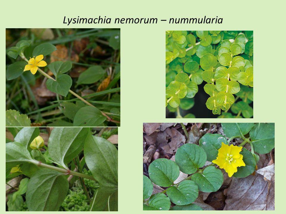 Lysimachia nemorum – nummularia