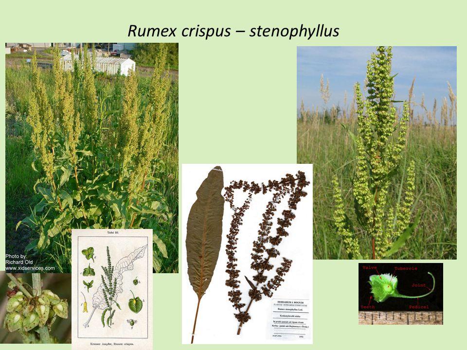 Rumex crispus – stenophyllus