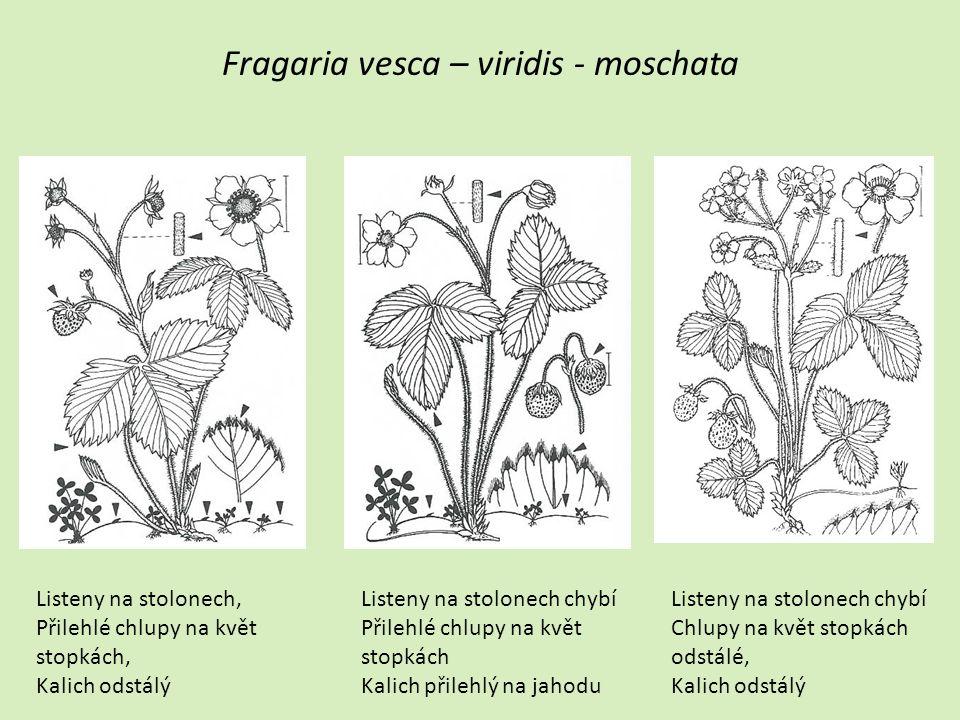 Fragaria vesca – viridis - moschata