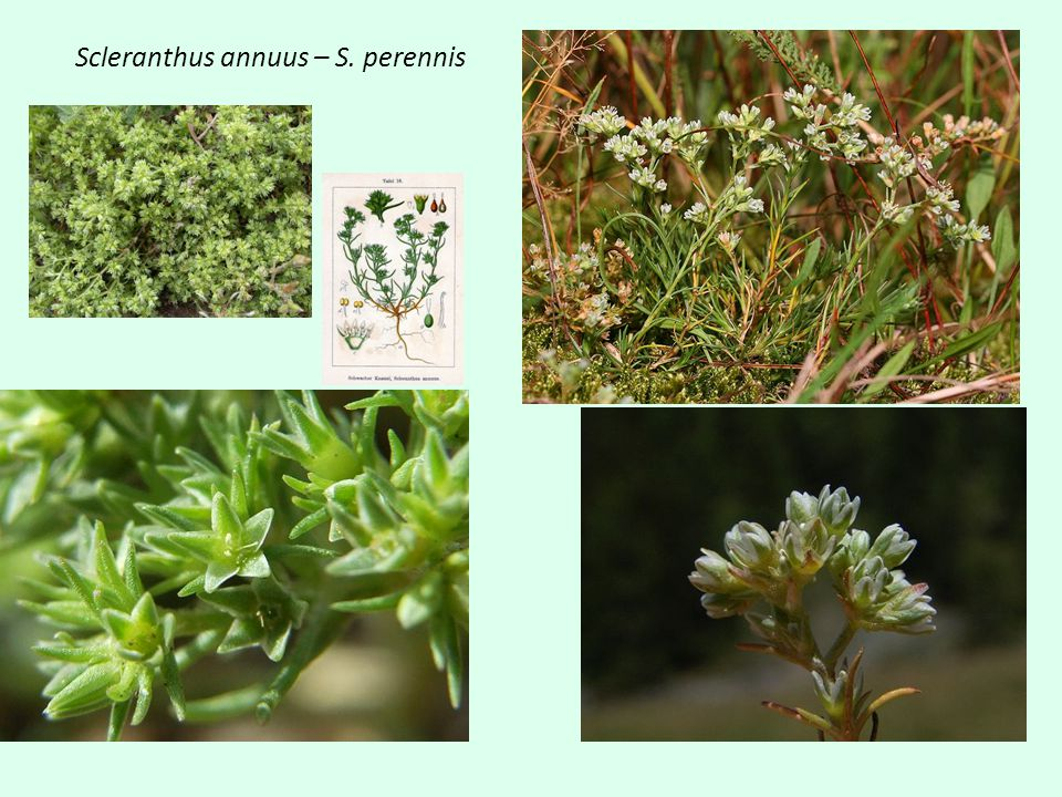 Scleranthus annuus – S. perennis