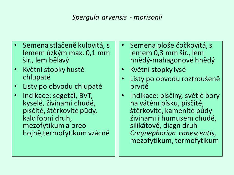 Spergula arvensis - morisonii