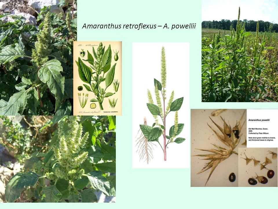 Amaranthus retroflexus – A. powellii