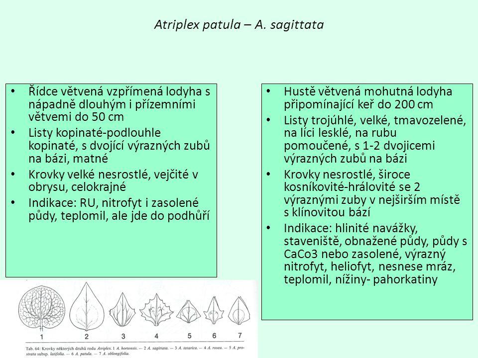Atriplex patula – A. sagittata