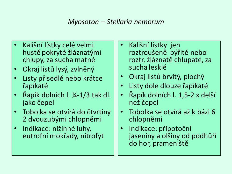Myosoton – Stellaria nemorum