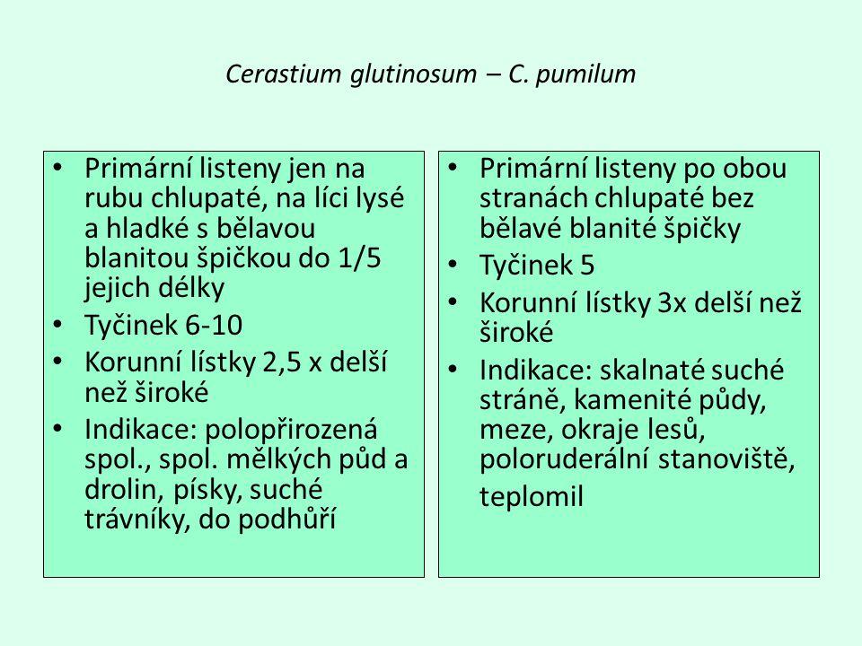 Cerastium glutinosum – C. pumilum