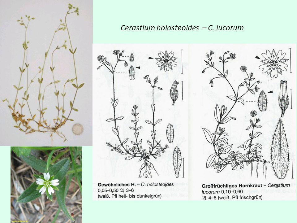Cerastium holosteoides – C. lucorum