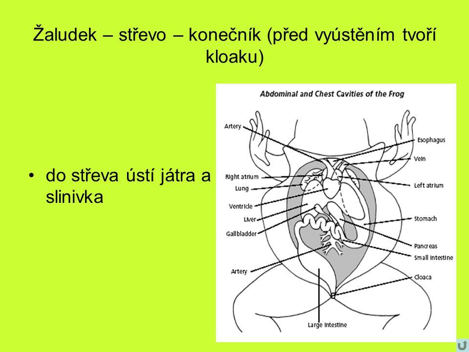 Žaludek – střevo – konečník (před vyústěním tvoří kloaku)