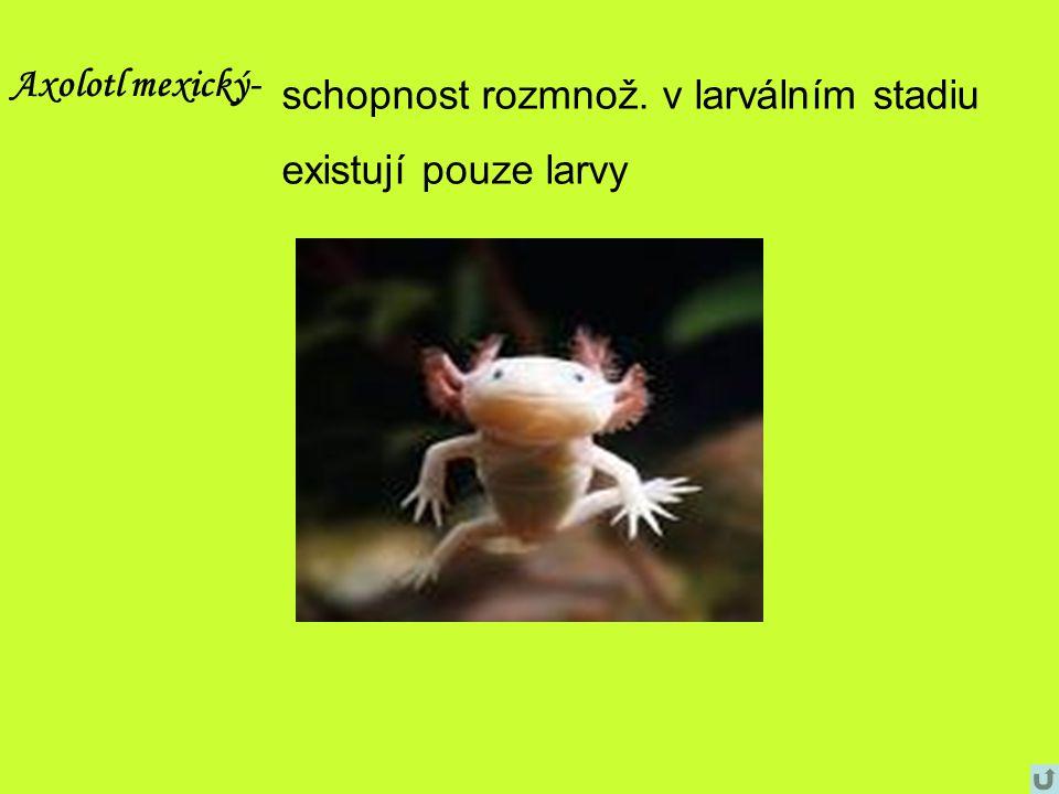 Axolotl mexický- schopnost rozmnož. v larválním stadiu existují pouze larvy