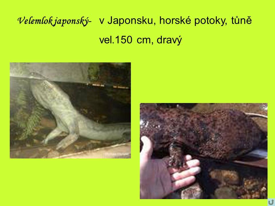 Velemlok japonský- v Japonsku, horské potoky, tůně vel.150 cm, dravý