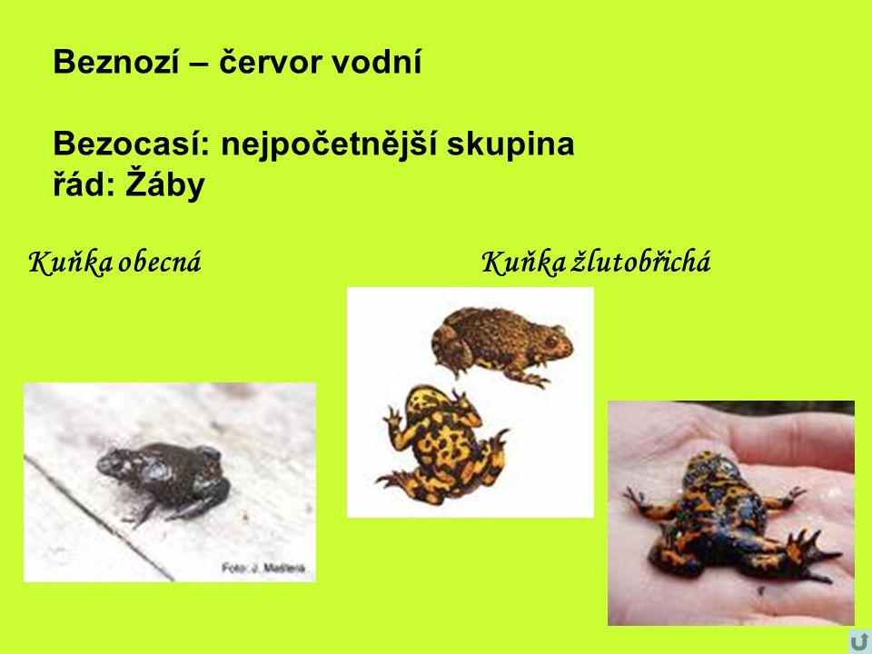 Beznozí – červor vodní Bezocasí: nejpočetnější skupina řád: Žáby