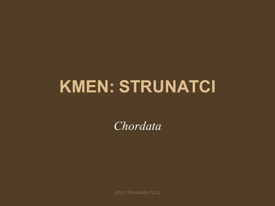 KMEN: STRUNATCI Chordata http://biomach.wz.cz