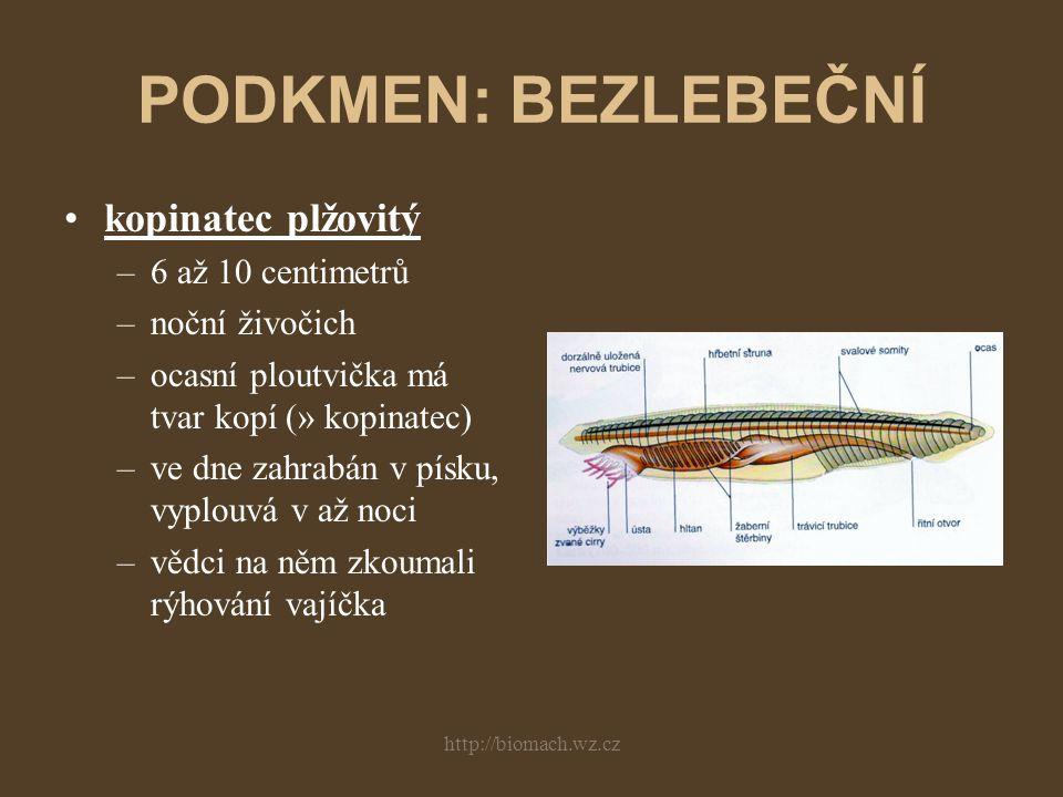 PODKMEN: BEZLEBEČNÍ kopinatec plžovitý 6 až 10 centimetrů