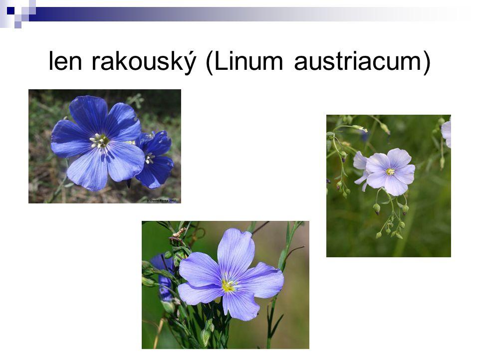 len rakouský (Linum austriacum)