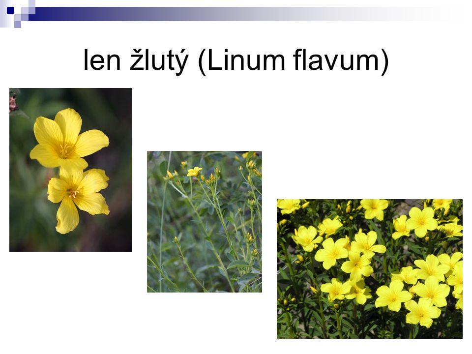 len žlutý (Linum flavum)
