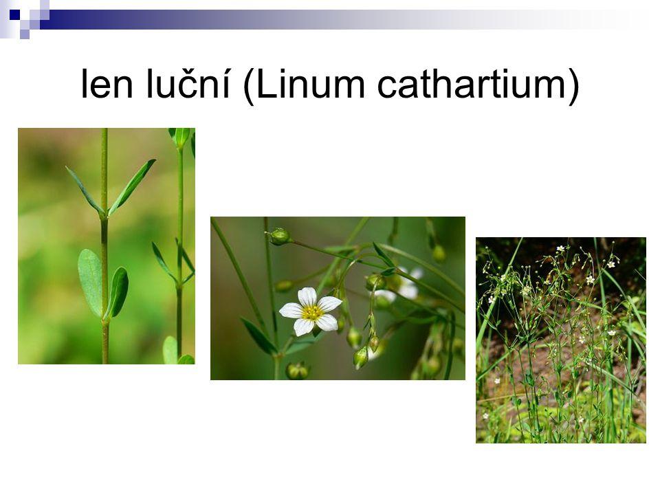 len luční (Linum cathartium)