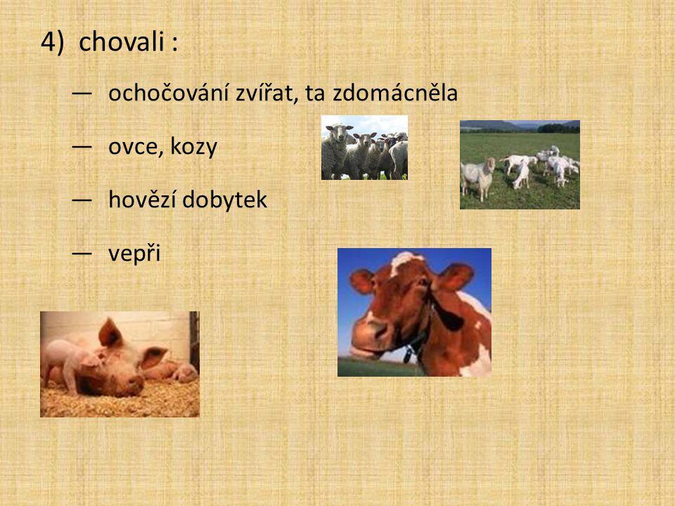 chovali : ochočování zvířat, ta zdomácněla ovce, kozy hovězí dobytek