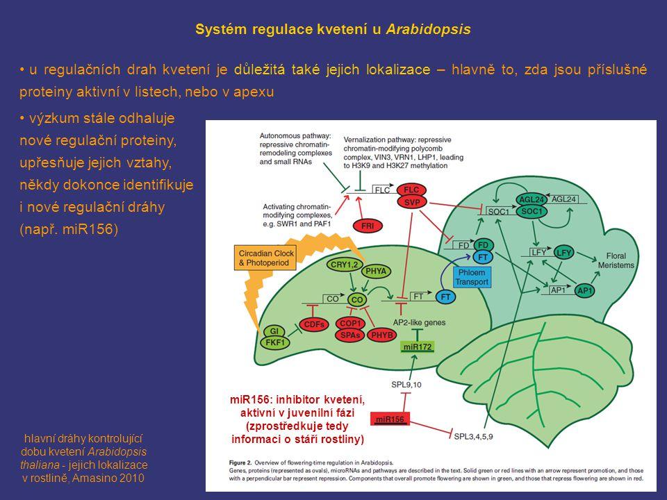 Systém regulace kvetení u Arabidopsis