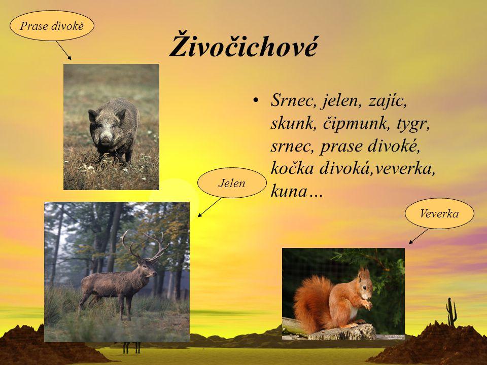 Prase divoké Živočichové. Srnec, jelen, zajíc, skunk, čipmunk, tygr, srnec, prase divoké, kočka divoká,veverka, kuna…
