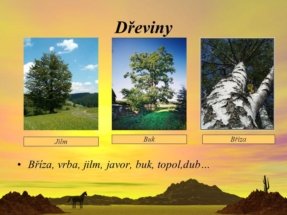Dřeviny Bříza, vrba, jilm, javor, buk, topol,dub… Buk Bříza Jilm