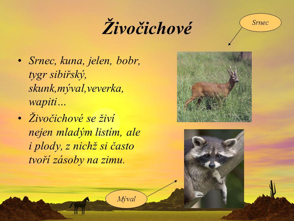 Živočichové Srnec. Srnec, kuna, jelen, bobr, tygr sibiřský, skunk,mýval,veverka, wapiti…