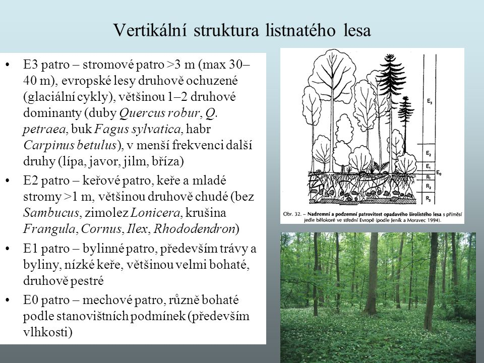 Vertikální struktura listnatého lesa