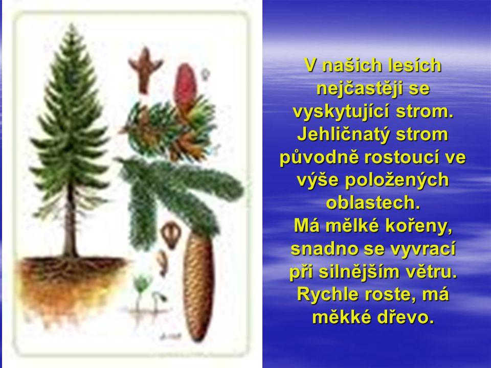 V našich lesích nejčastěji se vyskytující strom