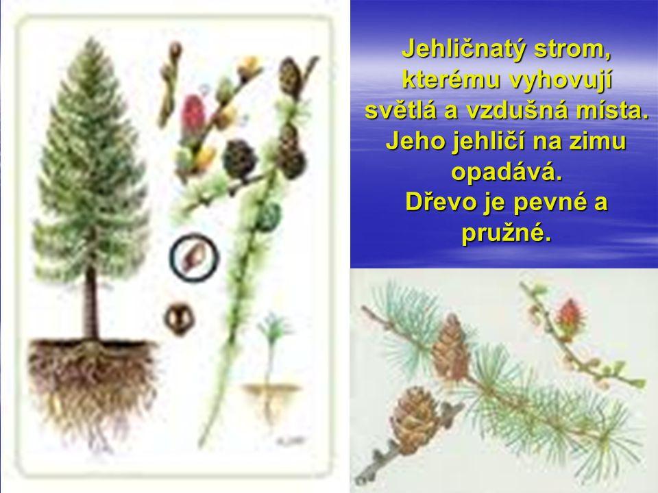 Jehličnatý strom, kterému vyhovují světlá a vzdušná místa