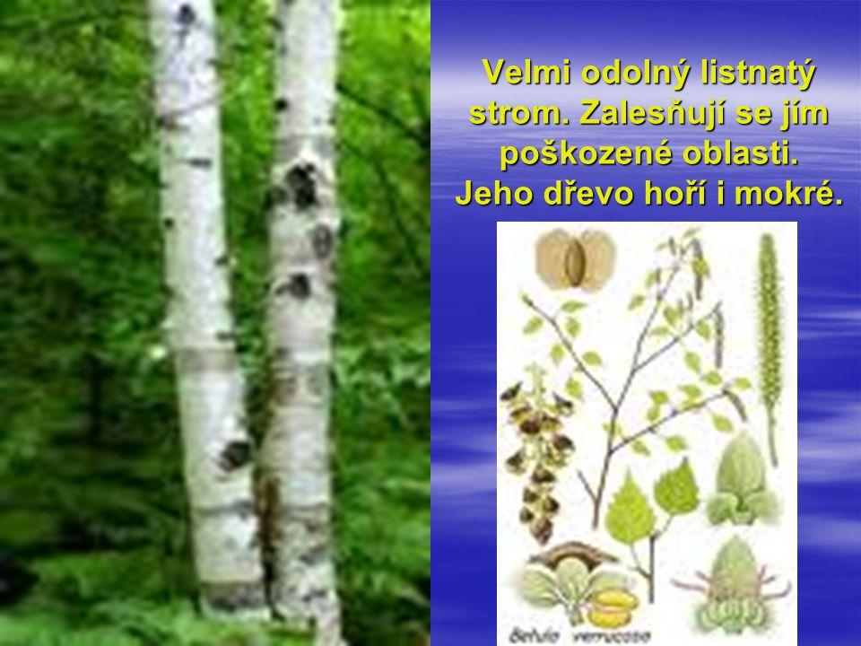 Velmi odolný listnatý strom. Zalesňují se jím poškozené oblasti