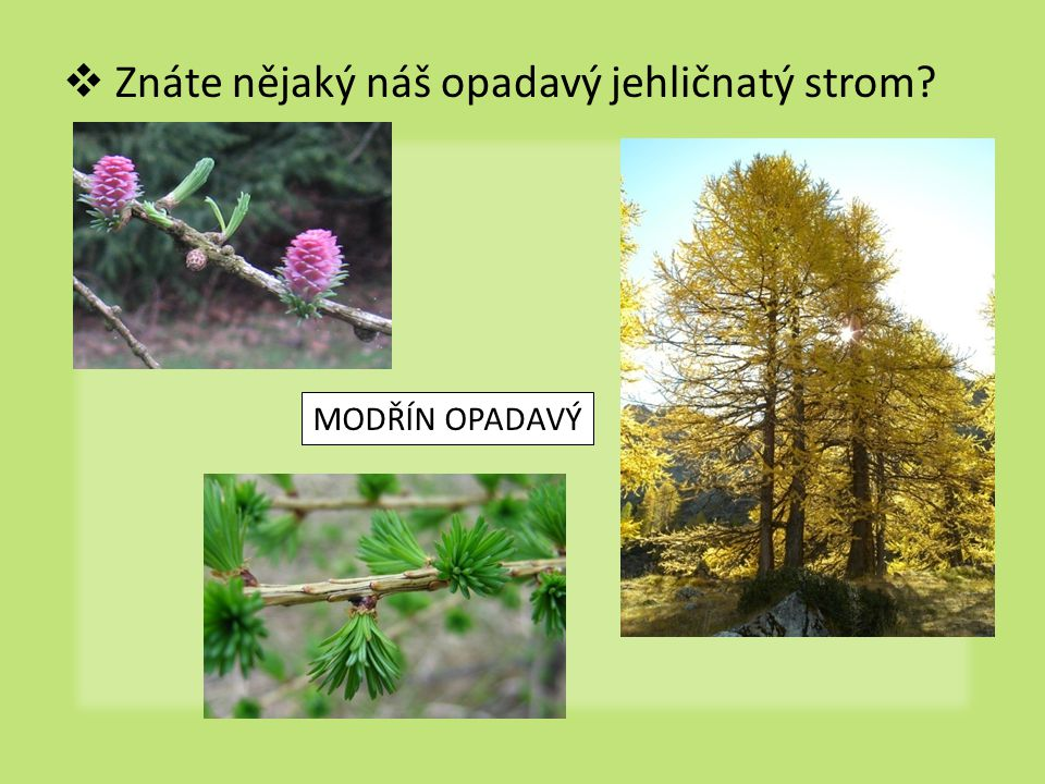 Znáte nějaký náš opadavý jehličnatý strom