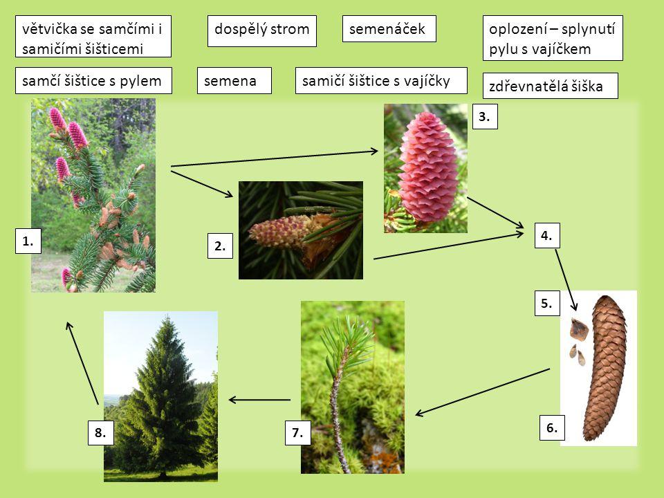 větvička se samčími i samičími šišticemi dospělý strom semenáček