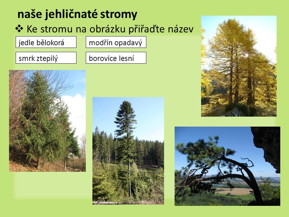 naše jehličnaté stromy