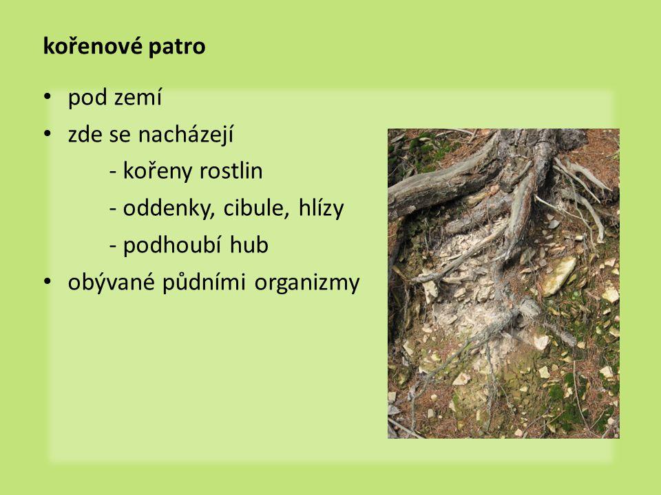 kořenové patro pod zemí. zde se nacházejí. - kořeny rostlin. - oddenky, cibule, hlízy. - podhoubí hub.