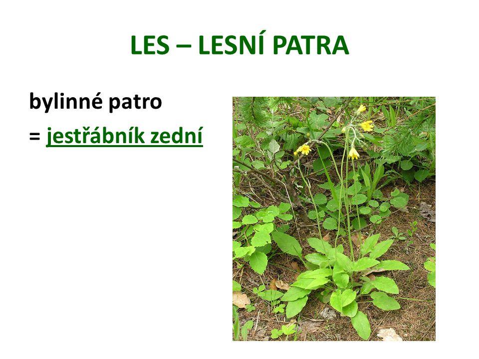 LES – LESNÍ PATRA bylinné patro = jestřábník zední