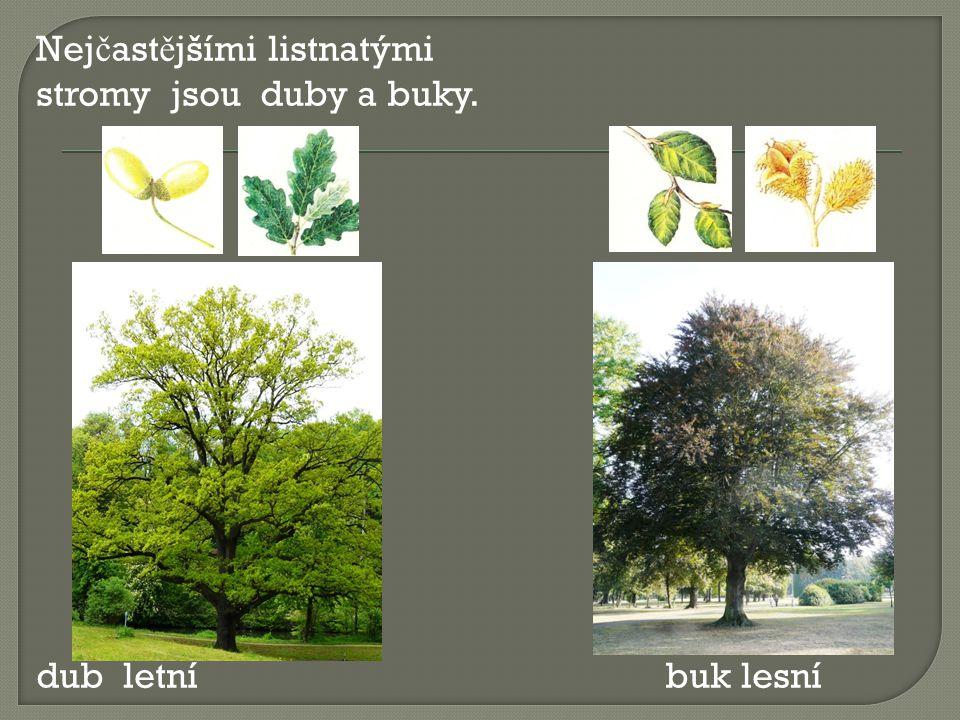Nejčastějšími listnatými stromy jsou duby a buky. dub letní buk lesní