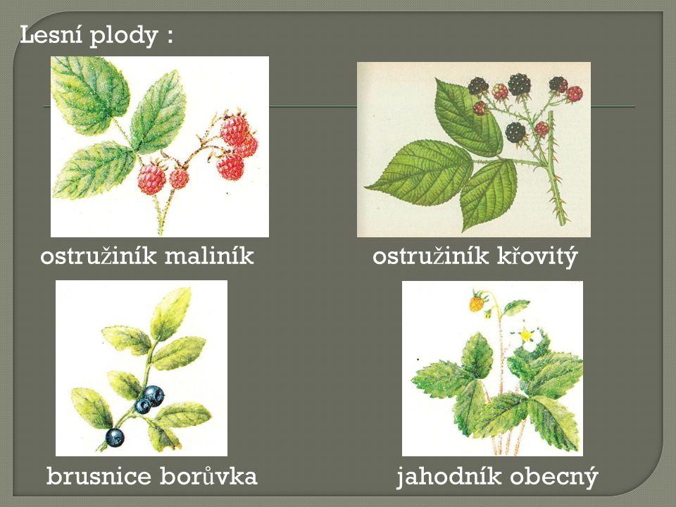 Lesní plody : ostružiník maliník ostružiník křovitý brusnice borůvka jahodník obecný
