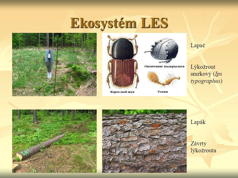 Ekosystém LES Lapač Lýkožrout smrkový (Ips typographus) Lapák