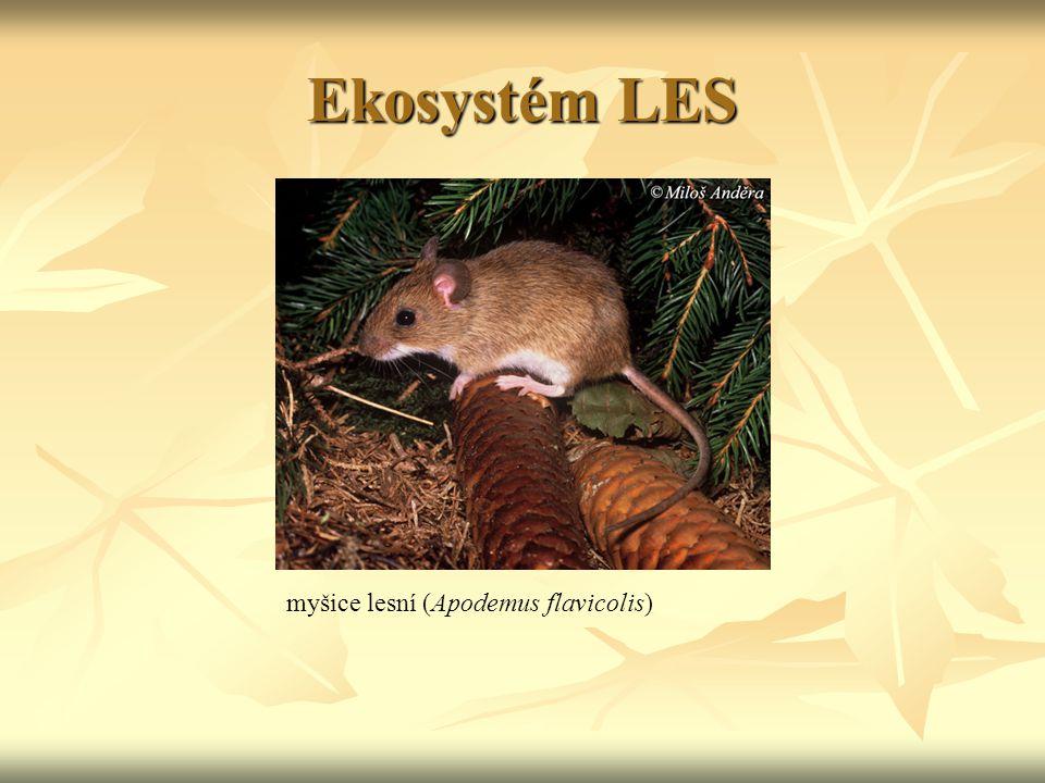 Ekosystém LES myšice lesní (Apodemus flavicolis)